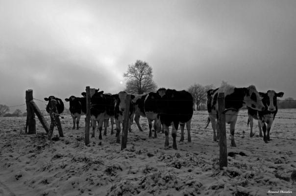 Vaches sous un soleil pâle-Ma photo-Bernard-2010-2.1