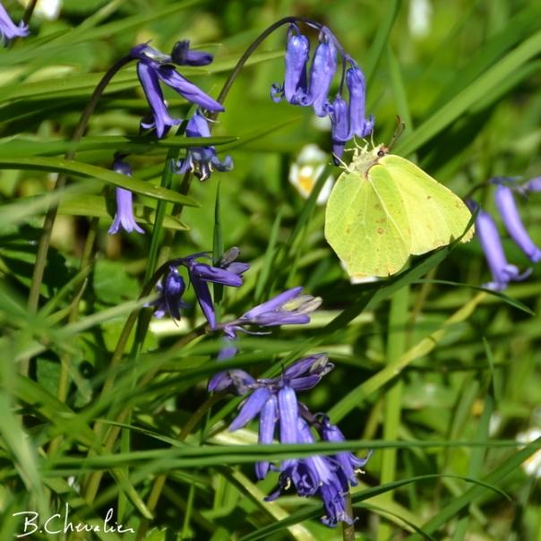 blog-bc-2016-17 Papillon