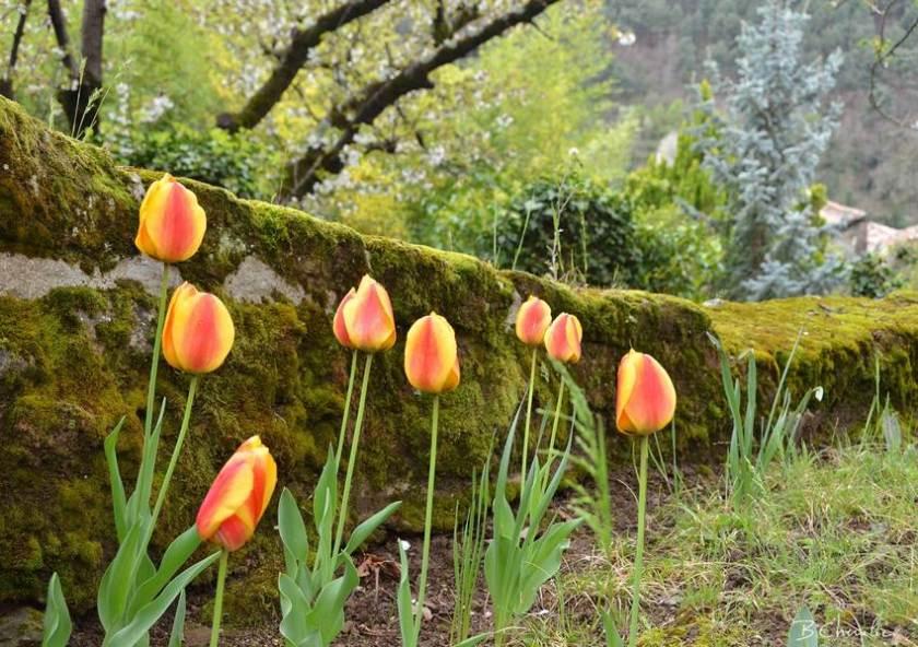 blog-bc-2017-14 Tulipes Ardèchoises