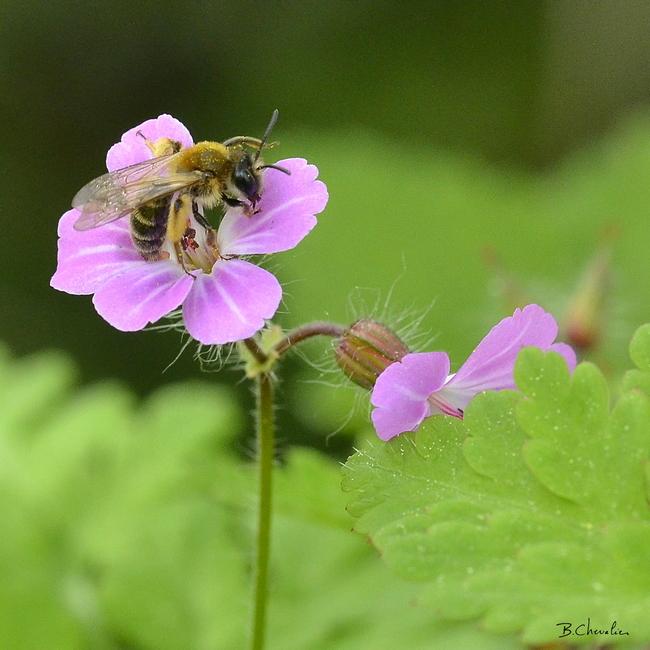 blog- bc-2018-17-abeille naine