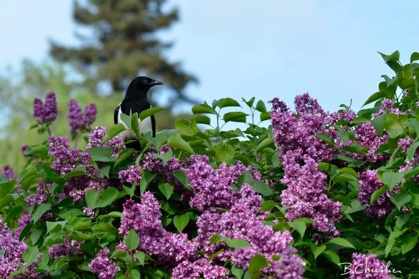 blog-bc-2019-20-La pie dans le Lilas