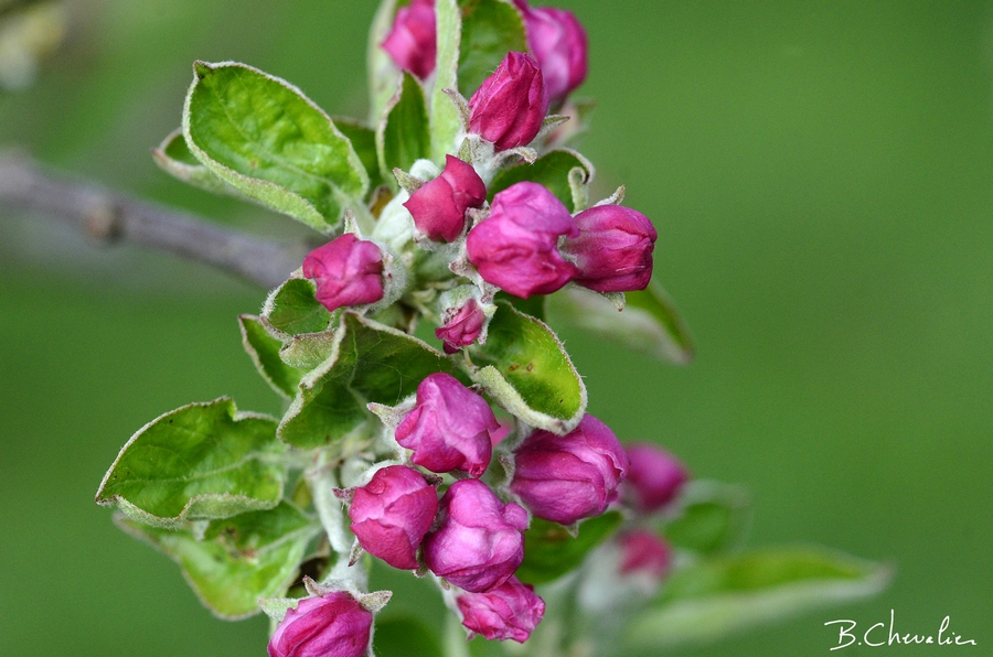 blog-bc-2020-16-boutons de fleurs de pommier